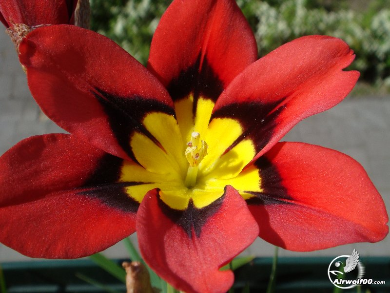 Flower Red/Yellow